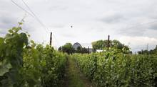 Closson Chase Vineyards is one of several wineries in Prince Edward County – a pastoral peninsula on the north shore of Lake Ontario – that are starting to make a splash. (Charla Jones/The Globe and Mail)