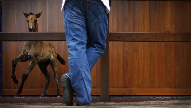 A potential bidder views a foal at the Magic Millions sales complex on Australia's Gold Coast during an auction of broodmares from Patinack Farm, owned by faltering mining magnate Nathan Tinkler, Oct. 30, 2012. (TIM WIMBORNE/REUTERS)