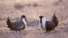 Rival adult male greater sage-grouse (Centrocercus urophasianus) confronting each other on the communal strutting grounds in spring, prairie grassalands, southern Alberta, Canada. (Wayne Lynch/Wayne Lynch)