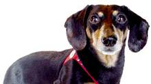 Buddy, the miniature dachshund, is CEO of Buddy Belt.