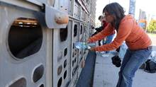 Animal-rights activist Anita Krajnc gives water to a pig in a truck, an action that has landed her in the Ontario Court of Justice, charged with criminal mischief. (Elli Garlin/THE CANADIAN PRESS)