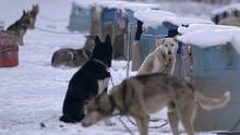 Sled Dogs: The Cold Truth About Man's Best Friend profiles an Iditarod musher and how he trains and treats his dogs.
