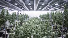 Medical marijuana is grown in a Smiths Falls, Ont., facility. (Jordan Sinclair/Tweed Inc.)