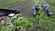 Harvesters weed the lettuce beds at an organic farm. (Charles Krupa/AP)