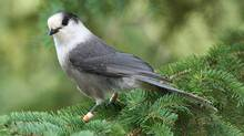 The gray jay is slightly smaller than the blue jay and has light grey feathers. (Frank and Sandra Horvath)