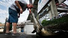 Fishing guide Guy Dale feeds a salmon tail to a harbour seal after filleting the fish caught by customers on a guided fishing tour operated by Bonnie Lee Charters in Vancouver, B.C., on Saturday August 18, 2012. (DARRYL DYCK/THE CANADIAN PRESS)