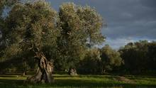 Olive trees at the Pantaleo Piccinnino in Caprarica near Lecce in the Puglia region in Italy. Estimates put this year's Italian olive yield down 40 per cent this year. (TIZIANA FABI/AFP/Getty Images)