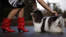 Co-owner/handler Bev Dorma grooms Reo before photos outside her home in Cobble Hill,B.C. The six-year-old Havanese toy breed also known as Mistytrails Double Stuf'D Oreo, recently won the best-of-breed title at the 136th Westminster Kennel Club dog show in New York. (Chad Hipolito For The Globe And Mail/Chad Hipolito For The Globe And Mail)