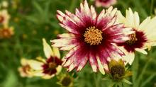 Coreopsis 'Red Shift' Tickseed (Handout / John Statham / Jonh's Garden Centre/Handout / John Statham / Jonh's Garden Centre)