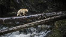 "A Kermode bear also known as the ""spirit bear"" hunts for salmon in a river near Klemtu, B.C. August 29, 2015. (John Lehmann/The Globe and Mail)"