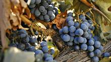 Grapes in the vinyard of Black Hills Estate winery in Oliver, B.C., in this 2009 photo. (Daniel Hayduk/Daniel Hayduk for The Globe and Mail)