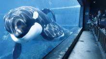 In this 1998 photo shows famed killer whale Keiko, at the Oregon Coast Aquarium, in Newport, Ore. Animal rights group says SeaWorld whales are entitled under the 13th Amendment that abolished slavery (Steven Nehl/AP/Steven Nehl/AP)