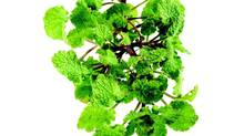 An image from the book Foraged Flavor, by Tama Matsuoka Wong. This one pictured is Dead Nettle. (Thomas Schauer/Images from the book Foraged Flavor)