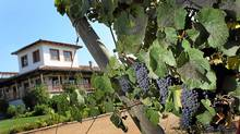 Grapes hang from the vine at the Montgras winery in Santa Cruz, Chile. (Joe Raedle/Joe Raedle/Getty Images)