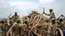 This file photo taken on April 20, 2016 shows Kenya Wildlife Services (KWS) rangers piling up elephant ivory onto a pyre at Nairobi's national park in preparation for a historic burning of tonnes of ivory, rhino-horn and other confiscated wildlife trophies. (TONY KARUMBA/AFP/Getty Images)