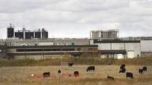 Cows graze near the XL Foods plant in Brooks, Alta. (Todd Korol for The Globe and Mail)