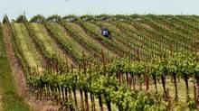 Grass growing between rows of Merlot grapes is mowed at a vineyard near Galt, California. (ROBERT GALBRAITH/REUTERS)