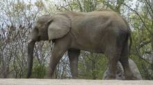 Thika, one of the Toronto Zoo's three elephants that will be transported. (Pat Hewitt/The Canadian Press/Pat Hewitt/The Canadian Press)