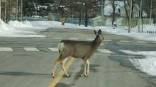 Studies conclude that deer or any animal may not have time to react to a whistle or may not understand the sound is supposed to be threatening.