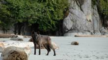 A coastal B.C. wolf, part of a research project, is shown in a handout photo. (Chris Darimont/The Canadian Press)