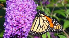 Butterfly bush with migrating monarch refueling. (Bill Andrews)