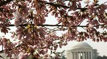 Washington's cherry blossom festival begins March 20. (JIM YOUNG/REUTERS)