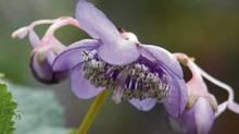 Dienanthe caerula (Richard Fraser)