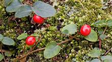 Partridgeberries in Weymouth Woods-Sandhills Nature Preserve, Southern Pines, North Carolina (Alamy)