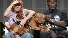 Baker Red, a rescue pit bull, sits on Tia Torres, left, and Villalobos parolee Earl Moffett during the Pit Bulls & Parolees panel at the 2014 Television Critics Association Summer Press Tour on Wednesday. (KEVORK DJANSEZIAN/REUTERS)