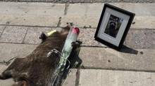 The online fascination with a dead raccoon in Toronto was partly because it was blackly comic, cruel and sent up many safe rituals. (Jason Wagar/THE CANADIAN PRESS)