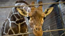 Marius the giraffe is pictured in Copenhagen Zoo February 7, 2014. The Copenhagen Zoo went ahead with a plan to shoot and dismember a healthy giraffe on Sunday and feed the 18-month-old animal's carcass to lions - an action the zoo said was in line with anti-inbreeding rules meant to ensure a healthy giraffe population. The giraffe, named Marius, was shot in the head and then cut apart in view of children, according to a video of the incident released by the Denmark-based production company Localize. (SCANPIX DENMARK/REUTERS)