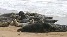With the European Union approving a seal management plan to cull a nuisance population, both Ottawa and the Canadian sealing industry are keeping a close watch. Industry leaders call the cull hypocritical, as Canada is currently fighting a European Parliament ban on commercial seal products before the World Trade Organization. (Charlie Phill/SplashdownDirect)