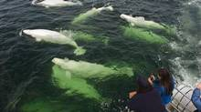 Churchill is better known for its polar bears but visitors are also afforded a rare treat when beluga whales by the thousands roam around the area's between mid-June to mid-August. (Travel Manitoba)