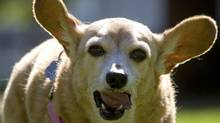 Midge, a 21-year-old chihuahua-dachshund cross, walks in a park in Abbotsford, B.C. Midge turned 21 on Sept. 1 and owner Jen Roos says she's one of the oldest dogs living in Canada. (Darryl Dyck/The Canadian Press)