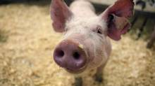 The U.S. supplier of pork to Wal-Mart is under intense scrutiny today after undercover footage revealed horrendous treatment of its pigs (Moe Doiron/The Globe and Mail)