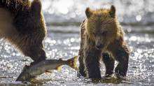 A female grizzly bear retrieves a dead pink salmon from Glendale river for her spring cub in Knights Inlet, B.C. September 18, 2013. (John Lehmann/The Globe and Mail)