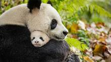 Born in China is a nature documentary that featues pandas. (Disney)