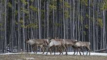 According to a new report, none of the 51 plans proposed in 2012 to preserve Caribou has been completed. (Gary Gulash/Canadian Parks and Wilderness Societ)