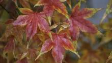Leaves of a Japanese maple (Thinkstock)