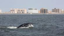 In this Aug. 19, 2014, photo provided by Gotham Whale, a humpback whale surfaces in the Atlantic Ocean just off the Rockaway peninsula near New York City. (Paul Sieswerda/THE ASSOCIATED PRESS)