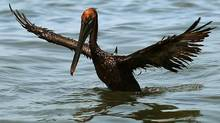 An oiled brown pelican tries to take flight from Barataria Bay near Grand Isle, La. (Win McNamee/2010 Getty Images)