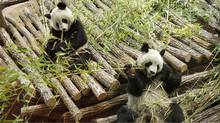 Yuan Zi , right, and Huan Huan relax inside their enclosure at the ZooParc de Beauval in Saint-Aignan, France, Jan 17. The pair of giant pandas which have been loaned to the zoo by China, will be on public view for the first time on Feb. 11. (BENOIT TESSIER/REUTERS/BENOIT TESSIER/REUTERS)