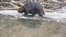 Author Frances Backhouse details a thorough account of the tirelessly industrious beaver's past, present and possible future.