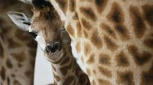 File photo: A newborn Rothschild giraffe (Giraffa camelopardalis rothschildi) is pictured together with its mother in an enclosure at the zoo of Rapperswil, Switzerland, Wendesday, Oct. 31, 2007. (STEFFEN SCHMIDT/AP)