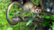 This artist rendering provided by Xijun Ni, Institute of Vertebrate Paleontology and Paleoanthropology, Chinese Academy of Sciences shows a reconstruction of Archicebus achilles in its natural habitat of trees. (Xijun Ni/Associated Press)
