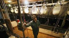 Michael Schmidt won a three-year legal fight to operate a cow-share operation on Thursday. The arrangement allows members to buy shares in a cow in exchange for raw milk. (Deborah Baic/DEBORAH BAIC/THE GLOBE AND MAIL)