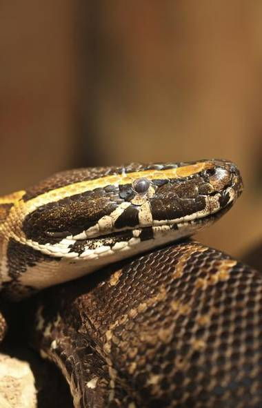 <p>The snake, which was four metres long and weighed about 45 kilograms</p>