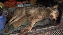 The wolf-dog shot and killed by a trapper on Bowen Island, B.C. on Thursday May 26, 2011. (ctv.ca)