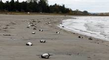 Dead birds line a portion of Allenwood Beach just outside of Wasaga Beach, Ontario Saturday Oct. 22, 2011. (Benjamin Ricetto/THE CANADIAN PRESS)