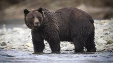 A grizzly bear on the hunt for salmon in the Atnarko River which runs through the Bella Coola Valley near Tweedsmiur Park Lodge October 7, 2011. (JOHN LEHMANN/The Globe and Mail)